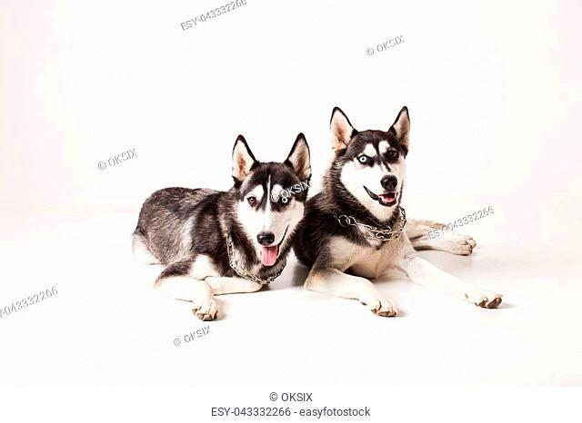 Two adult dogs husky with different colored eyes and a chain around his neck, isolated on white