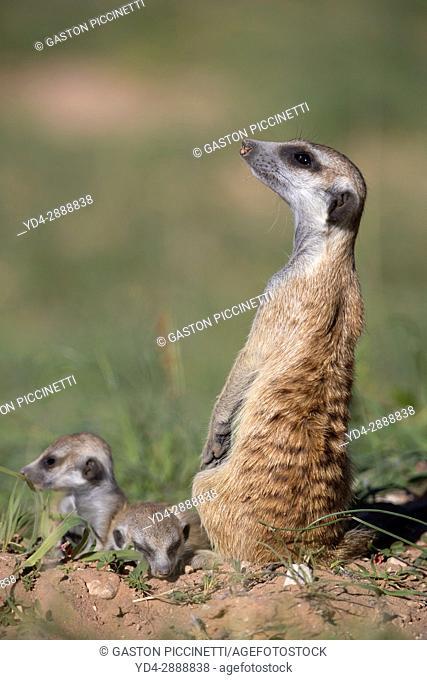 Suricate (Suricata suricatta) - Mother and youngs, Kgalagadi Transfrontier Park, Kalahari desert, South Africa/Botswana