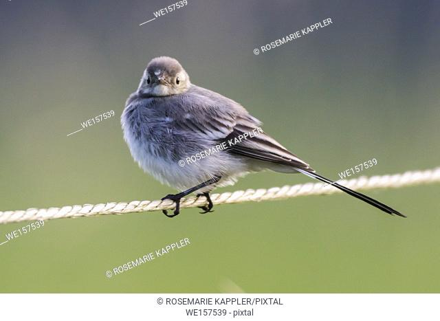 Germany, Saarland, Homburg - A white wagtail on a field is searching for fodder