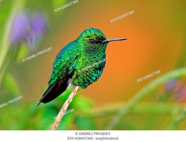 Western Emerald, Chlorostilbon melanorhynchus, hummingbird