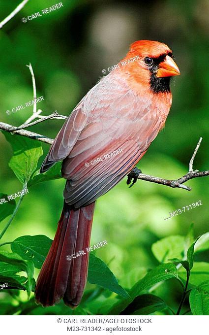 A young male northern cardinal (Cardinalis cardinalis) looks over his shoulder, Pennsylvania, USA