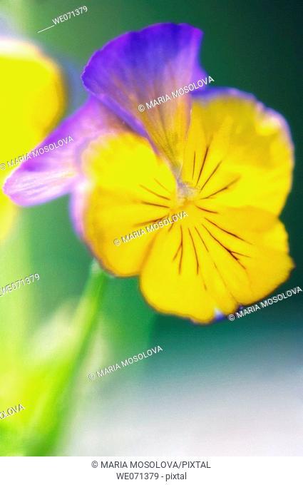 Pansy Flower. Viola x wittrockiana. May 2006, Maryland, USA
