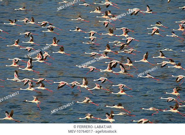 Lesser Flamingo and Greater Flamingo (Phoenicopterus ruber) in flight over Lake Bogoria (Phoenicopterus minor)