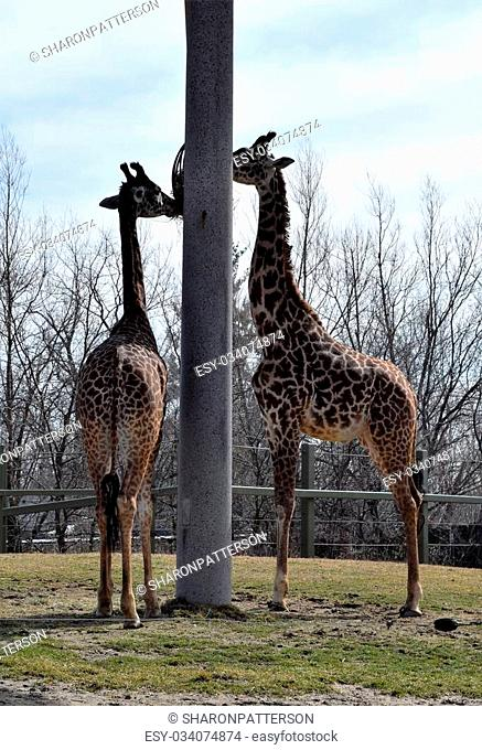 Photograph of giraffes eating