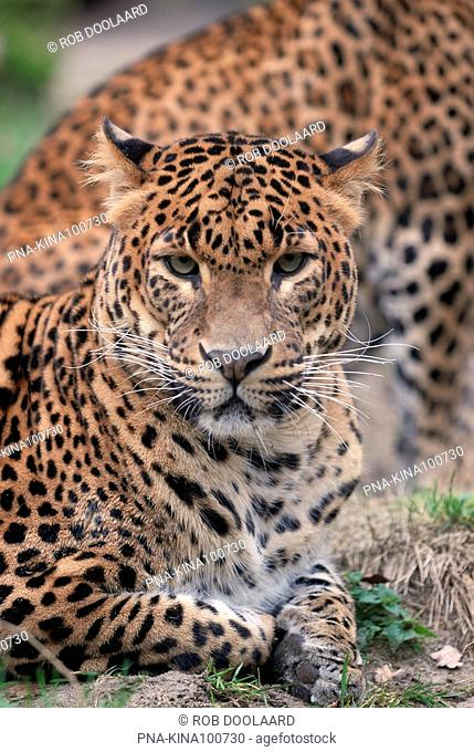 Leopard, panther Panthera pardus - Zoo Emmen, Emmen, Drenthe, The Netherlands, Holland, Europe