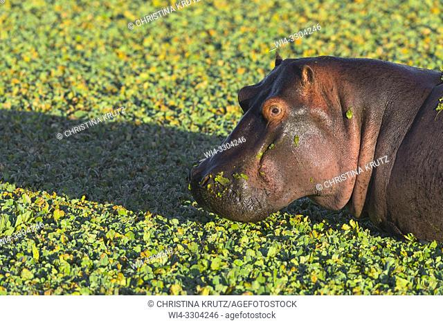 Wild hippopotamus (Hippopotamus amphibus) in a pond covered with water lettuce, Masai Mara National Reserve, Kenya, Africa