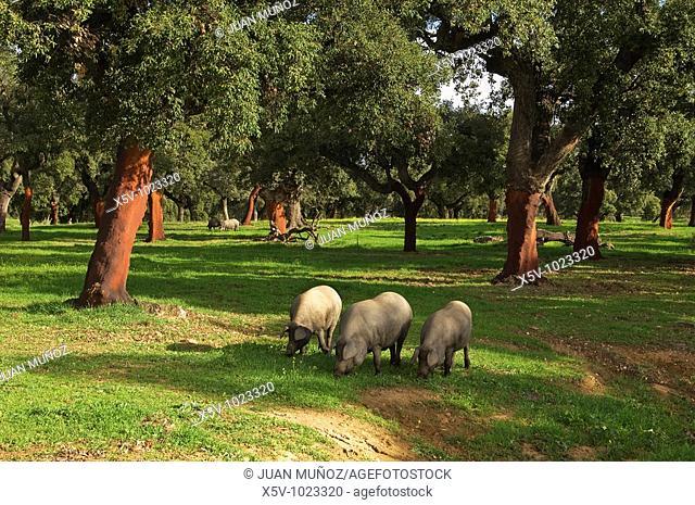 Iberian pigs grazing on pastures of cork. Aracena Nature Park