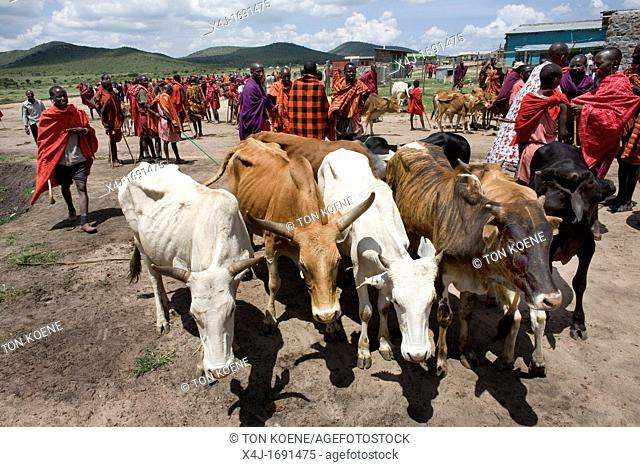 Weekly livestock market in the Maasai Mara game reserve The village is inhabited by Massai who consider their animals as most important in live Each farmer owns...