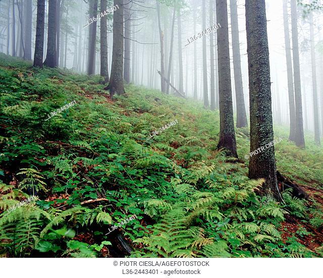 Mountain wood, Beskid Slaski, Poland