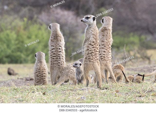 Africa, Southern Africa, Bostwana, Nxai pan national park, Meerkat or suricate (Suricata suricatta), adults and youngs