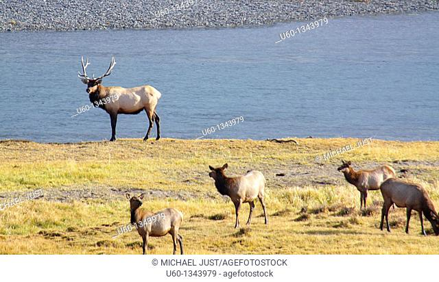 A buul elk stands next to his harem alongside the Yellowstone River at Yellowstone National Park,Wyoming