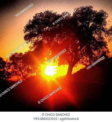 Sunset in a olive orchard in Prado del Rey, Sierra de Cadiz, Andalusia, Spain