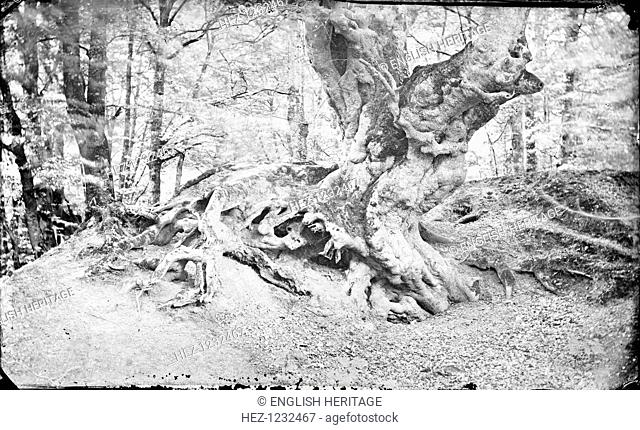 Beech tree at Burnham, Buckinghamshire, c1860-c1922. A large beech tree, known as 'The Monarch of the Glen'