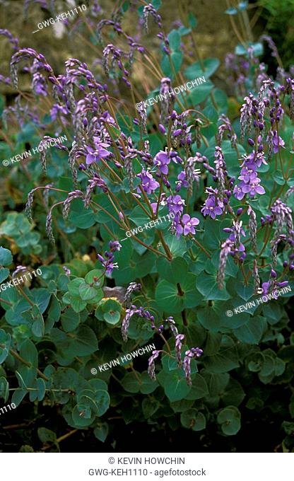 PARAHEBE PERFOLIATA DIGGER'S SPEEDWELL WHOLE PLANT