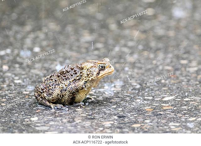 American Toad (Anaxyrus americanus) on paved road in Darlington Provincial Park, Ontario, Canada