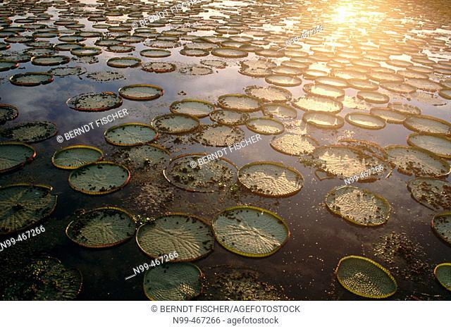 Victoria water lily (Victoria regia). Leaves in a water pond. Pantanal near Port Joffre. Mato Grosso do Sul. Brazil