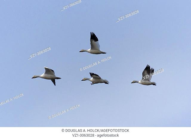 Ross' Geese in formation Colusa Wildlife Refuge, California, USA