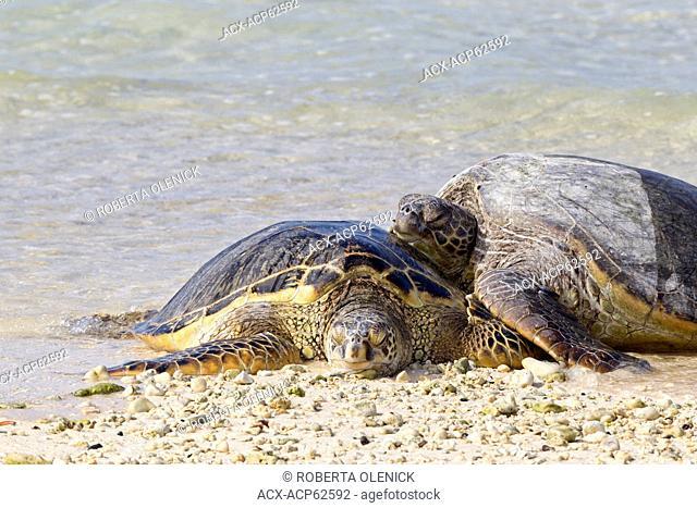 Hawaiian green sea turtles (Chelonia mydas), resting on beach, Sand Island, Midway Atoll National Wildlife Refuge, Northwest Hawaiian Islands