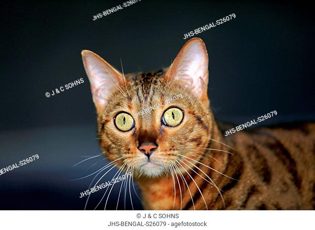 Bengal Cat, (Felis Catus),adult portrait alert Germany, Europe