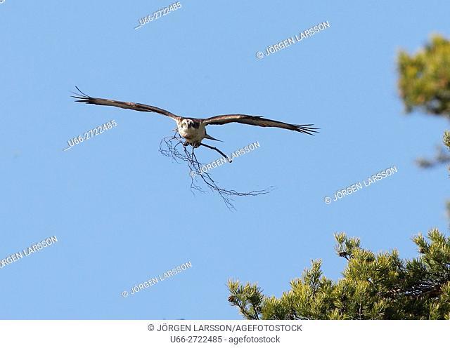 Sweden, Sodermanland, Anhammar, Osprey (Pandion haliaetus) flying