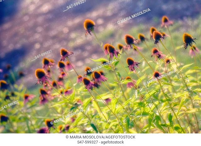 Echinacea Meadow (Echinacea purpurea hybrid). August 2006. Maryland, USA