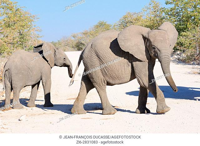 Two young African bush elephants (Loxodonta africana) crossing a dirt road, Etosha National Park, Namibia, Africa