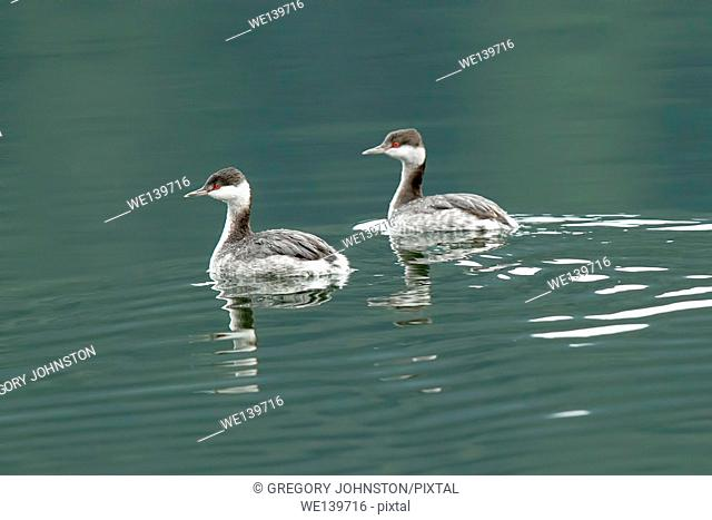 Horned grebes swimming together in Fernan lake