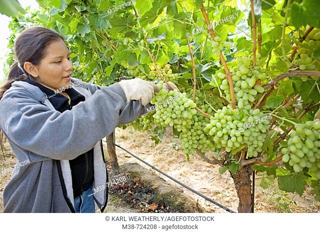 Grape picker, Clayhouse vineyard, Paso Robles, California, USA