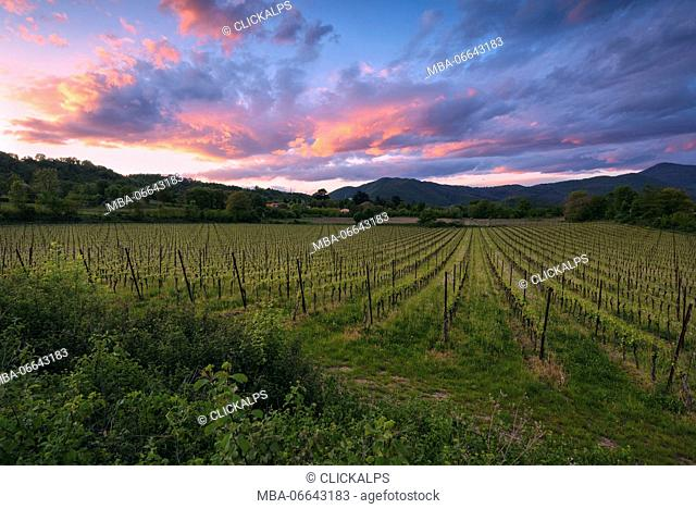 Vineyards in Franciacorta at sunset, Brescia province, Italy, Lombardy district, Europe