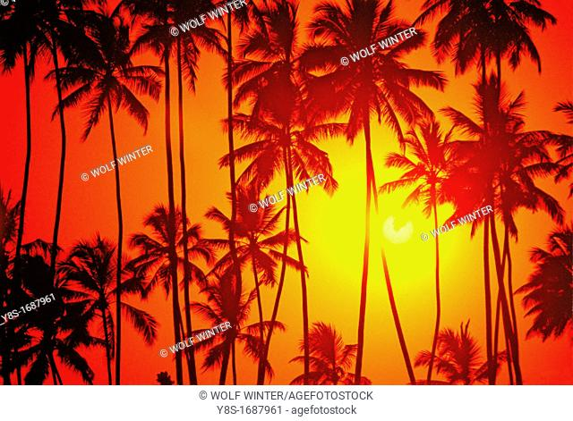 Coconut Trees in the Sunset