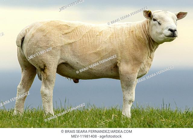 Texel Sheep male on flied Sctoland, United Kingdom
