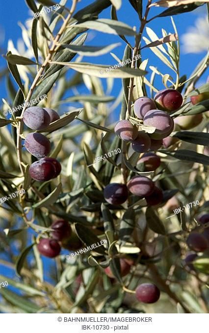 Turkey Milet southern coast of the agean sea olive olea europaea