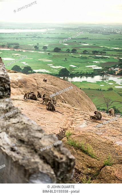 Monkeys climbing rock cliff in rural landscape