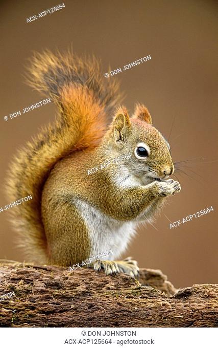 Red squirrel (Tamiasciurus hudsonicus), Greater Sudbury, Ontario, Canada