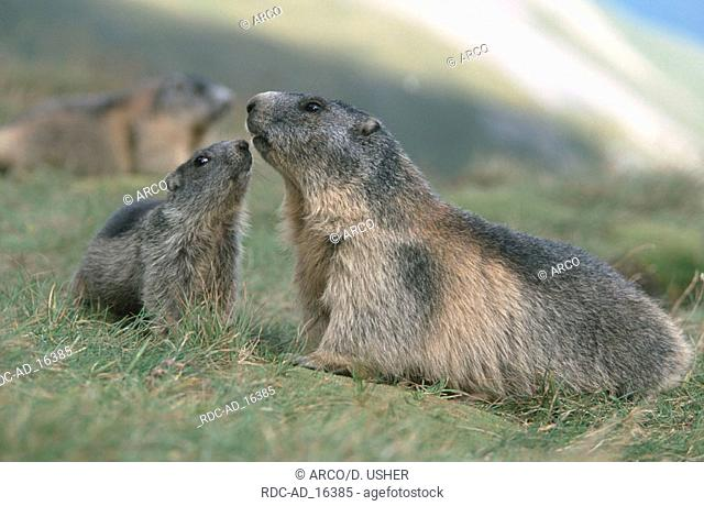 Alpine Marmot with young Austria Marmota marmota