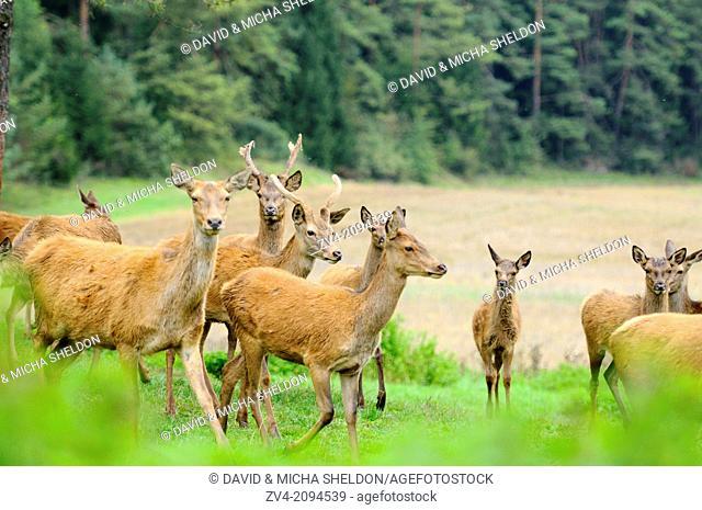 A group of a red deer (Cervus elaphus) on a meadow