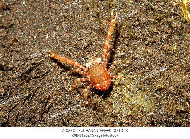 Squat Lobster, Galathea sp. Tulamben, Bali, Indonesia. Bali Sea, Indian Ocean