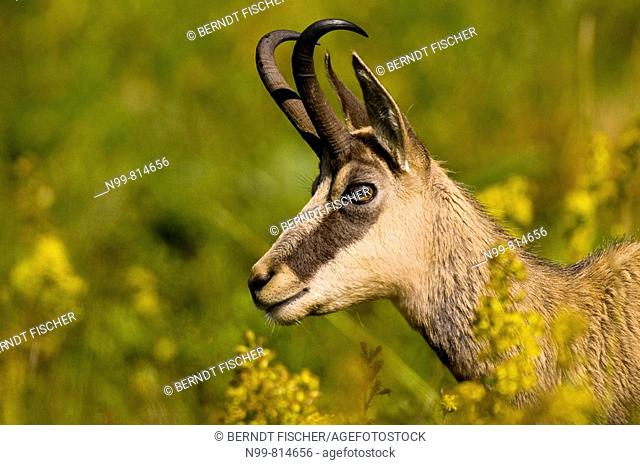 Chamois (Rupicapra rupicapra), portrait of a buck, Hohneck, Vosges mountains, Alsace, France