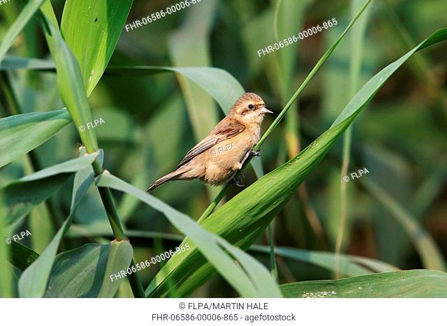 Chinese Penduline-tit (Remiz consobrinus) adult female, breeding plumage, perched on grass stem, Mai Po, New Territories, Hong Kong, China, April