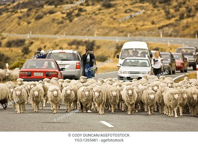 Sheep herded along road in Mt  Cook national park, New Zealand