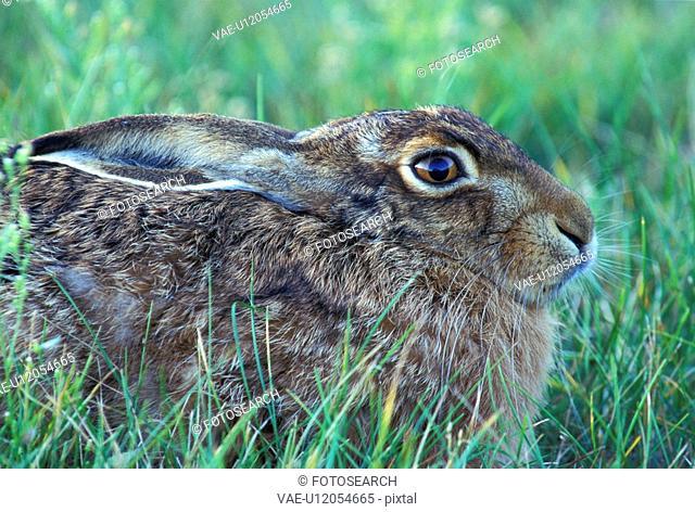 brown, bunny, animals