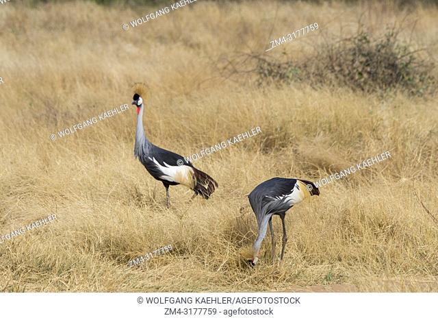 Grey crowned cranes (Balearica regulorum) are looking for food in the dry savannah grassland of Samburu National Reserve in Kenya