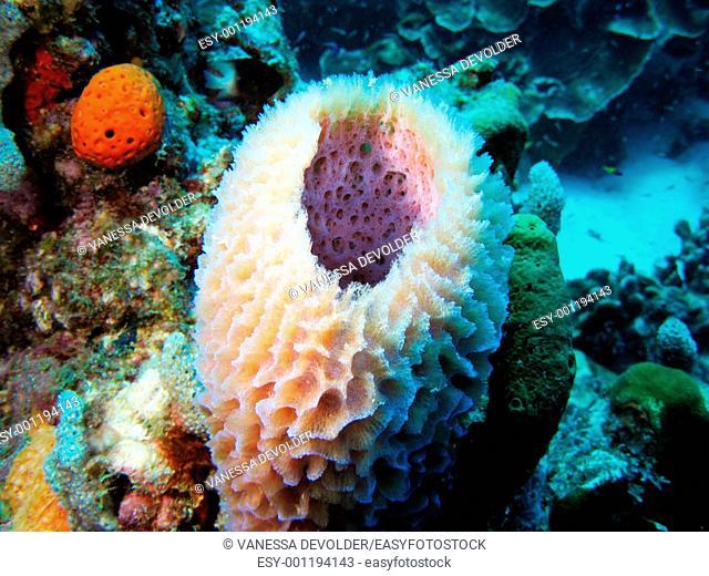Sponge in the Caribbean sea around Bonaire V11BON0659, Dutch Antilles