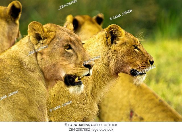 Lions (Panthera leo), Ngorongoro Crater, Ngorongoro Conservation Area, Tanzania, East Africa