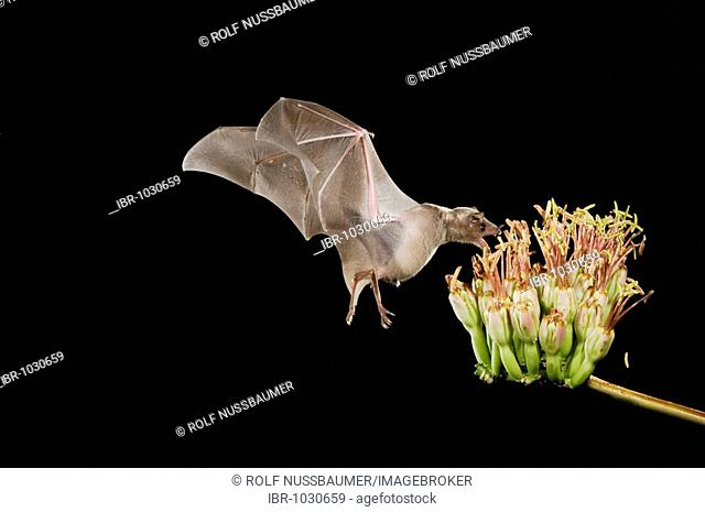 Lesser Long-nosed Bat (Leptonycteris curasoae), adult in flight at night feeding on and pollinating Agave blossom (Agave sp
