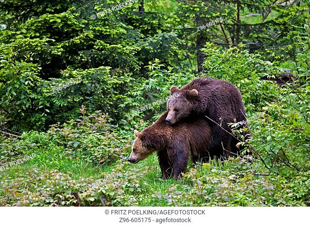 Brown Bear (Ursus arctos). National Park Bavarian forest, Germany