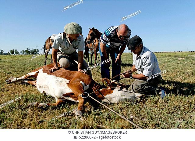 Gauchos sawing off horn of cattle, Estancia San Isidro del Llano towards Carmen Casares, Buenos Aires province, Argentina, South America