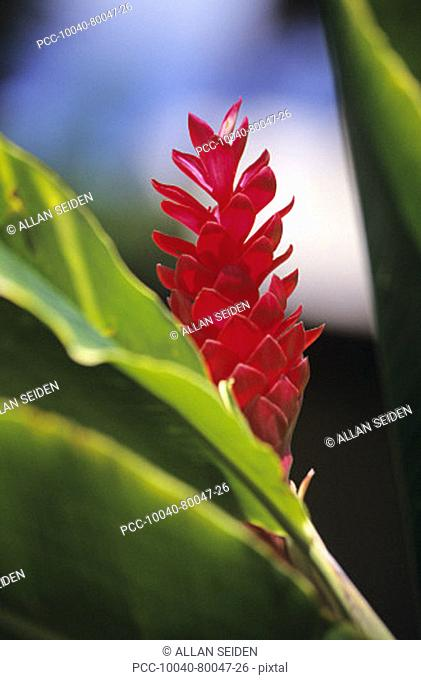 Close-up of beautiful red ginger flower with soft focus and blurry background