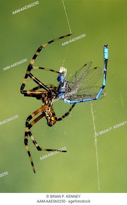 Black and Yellow Argiope / Yellow Garden Spider (Argiope aurantia) in web with Damselfly Prey, Florida