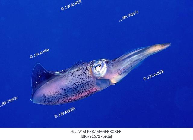 Bigfin Reef Squid, Oval Squid (Sepioteuthis lessoniana), Roatan, Honduras, Caribbean